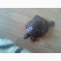 Продам красноухою черепаху