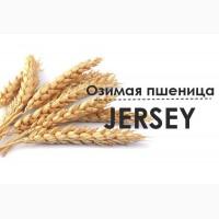 СЕМЕНА - Озимая пшеница Джерси/JERSEY (Канада)