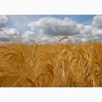 Компания на постоянной основе ЗАКУПАЕТ пшеницу, ячмень, кукурузу