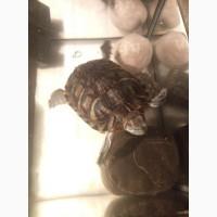 Отдам красноухих черепах
