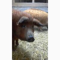 Ремонтные свинки покрытые Мангалица 12-13месяцев ЦЕНА ДОГОВОРНАЯ