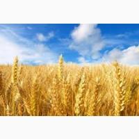 Оптом закупаем Пшеницу(2-4 класс).Самовывоз