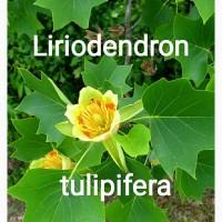 Семена тюльпанового дерева