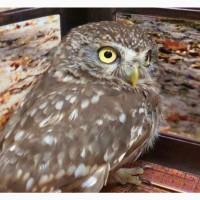 Домовой или воробьиный сыч. Карликовая сова для содержания дома