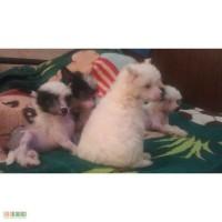 Продам щенков китайской хохлатой