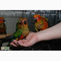 Абсолютно ручные попугаи средних размеров– птенцы Сенегала, Аратинги и Калиты-монаха