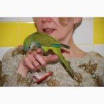 Абсолютно ручные попугаи средних размеров– птенцы Сенегала, Аратинги и Калиты-монаха.