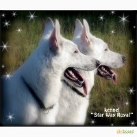 Американо-Канадская (Швейцарская) Белая Овчарка - щенки