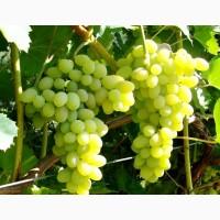 В наличии виноград на экспорт
