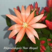 Рипсалидопсис. Рипсалидопсисы, пасхальные кактусы, рождественник