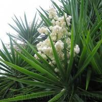 Продам уличный кактус с красивыми колокольчатими цветами ЮКА (Yucca)