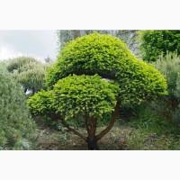 Ниваки (садовый бонсай)