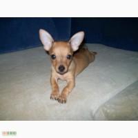 Продам щенка Той-терьер 900грн