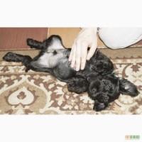 Продам щенков Цвергшнауцер(черный)