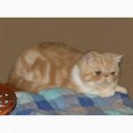 Экзоты короткошерстные котята
