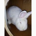 Кролики НЗБ Новозеландский белый