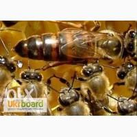 Реалізуємо плідні бджоломатки(Пчеломатки) Степної украинської та Карпатки 2018