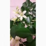 Цветок Императора Мурайя