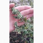 Семена Мелиса