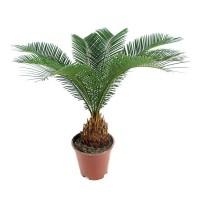 Семена саговой пальмы цикас ( cycas ) + инструкция