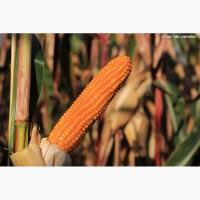 Гібрид кукурудзи Роналдініо (KWS)