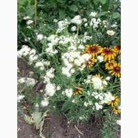 Літні багаторічні квіти