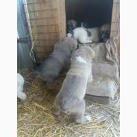 Продаются щенки алабая.клубная с отличной родословной