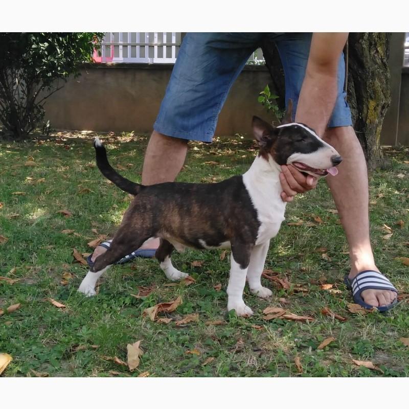 Фото 1/11. Miniature bullterrier puppies