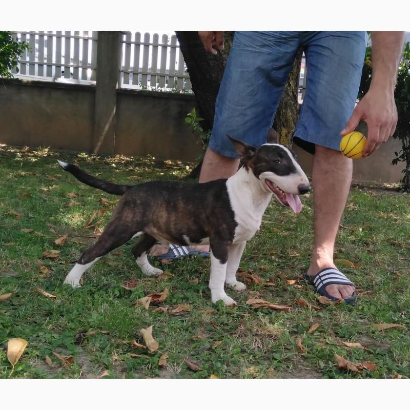 Фото 3/11. Miniature bullterrier puppies