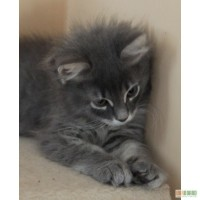 Продаются клубные сибирские котята