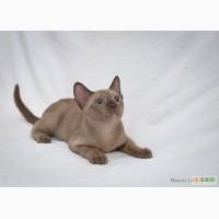 Котята породы бурма (бурманские котята).