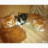Курильский бобтейл – котята от чемпиона породы