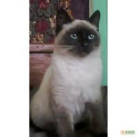 Тайська кішка