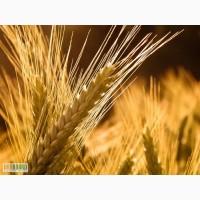 Продаём семена посевной материал пшеница,ячмень.