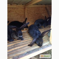 Продам племенных кролей породы полтавское серебро
