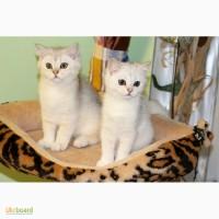 Замечательные котята серебристой британской шиншиллы