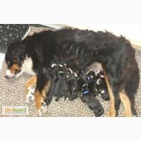 Продам замечательных щенков бернского зенненхунда