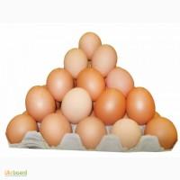 Продам свежее куриное яйцо опт