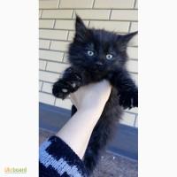 Отдам в хорошие руки черных сибирских котят Осталась одна девочка. Бровары