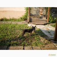 Продам щенка мексиканской голой