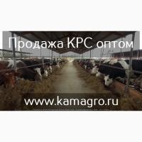 Высокопродуктивный скот племенные и товарные нетели молочного направления