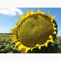 Семена подсолнечника матадор