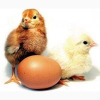 Коричневый Ломан» купить инкубационные яйца яичных пород