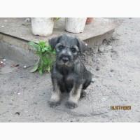 Продаю щенка миттельшнауцера (суку)