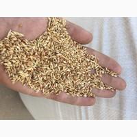 Продам семена суданки Насіння суданки