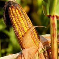 Продам семена кукурузы Хотин, ФАО 290