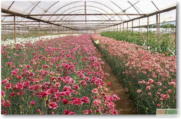 Выращивание розы на срезку в теплице 64