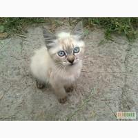 Отдам сиамского котёнка в хорошие руки