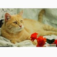 Кошка кремовая, европейская короткошерстная