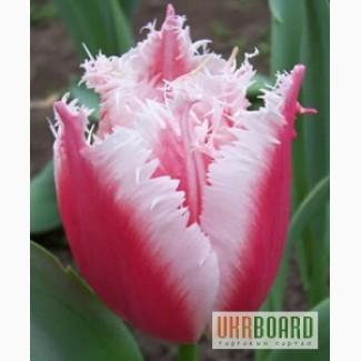 Купить оптом тюльпаны луганская обл где купить тюльпаны и ирисы